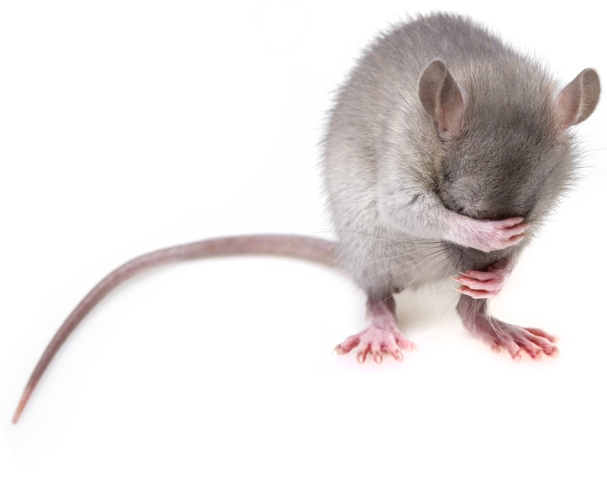 Cannabis Research in Rats?